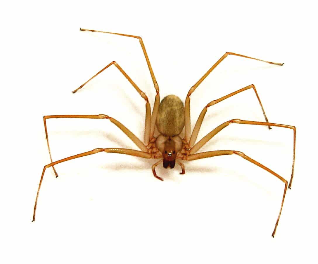Arañas-venenosas13