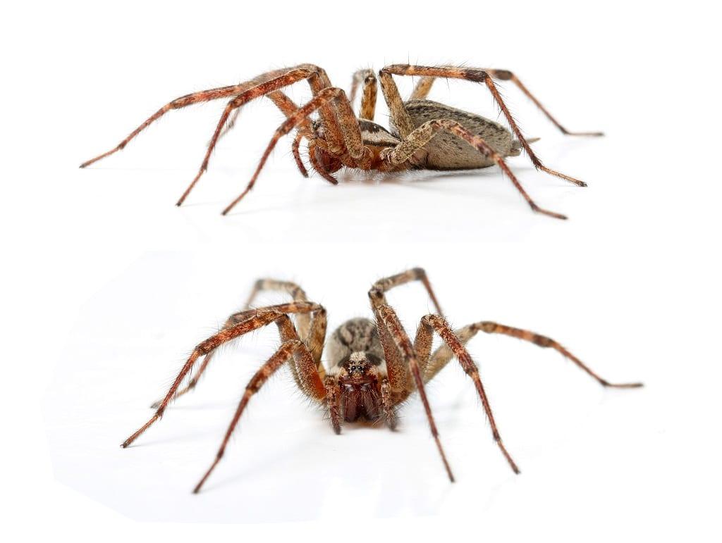 Arañas-venenosas14