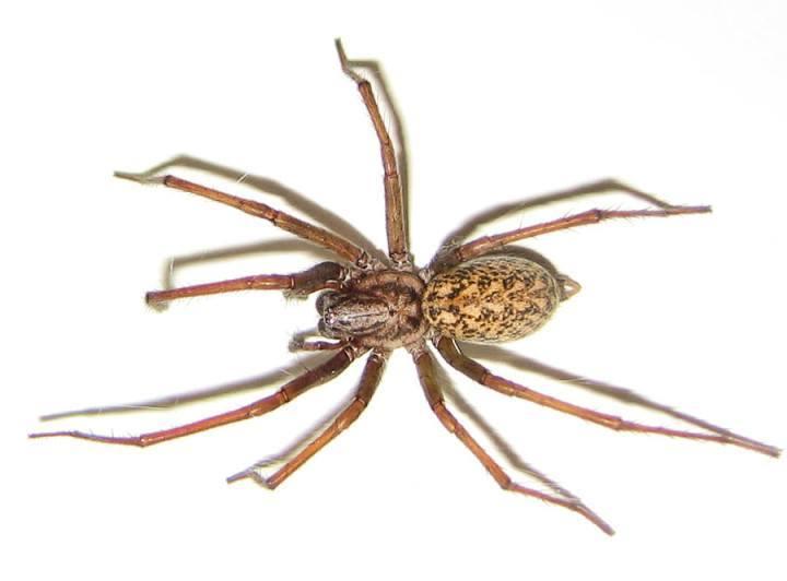 Arañas-venenosas16