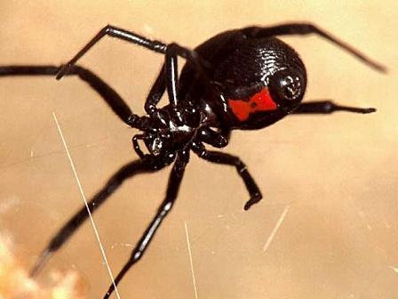 Arañas-venenosas19