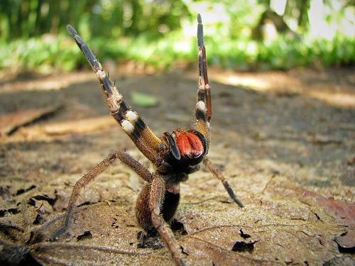 Arañas-venenosas20