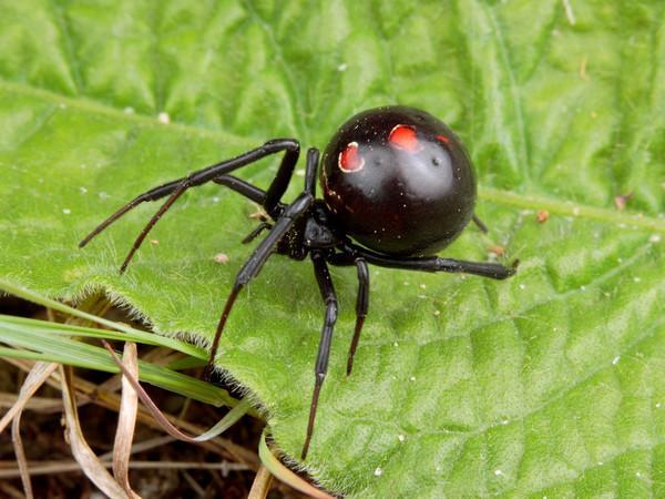 Arañas-venenosas21