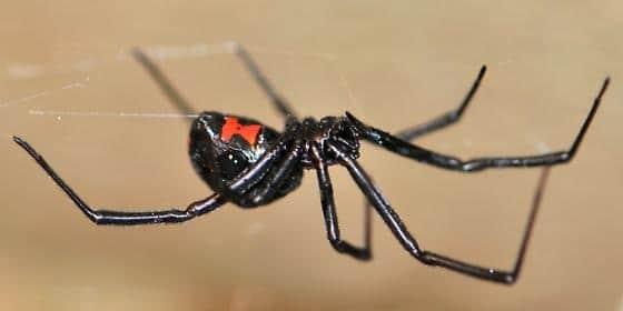 Arañas-venenosas27
