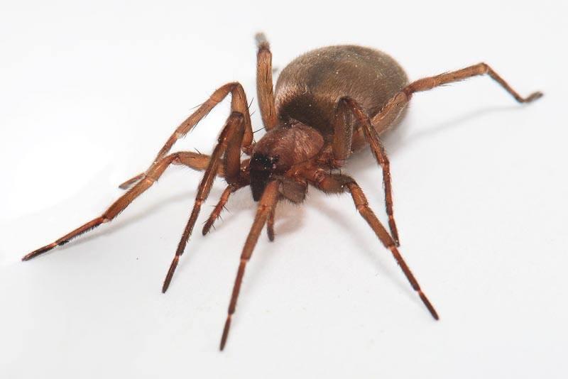 Arañas-venenosas3