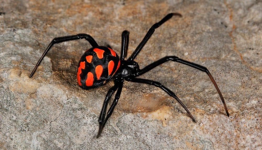 Arañas-venenosas4