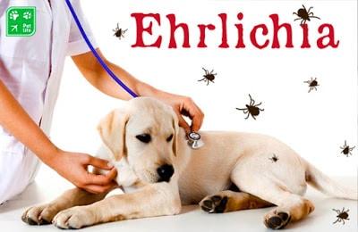 La erliquiosis canina