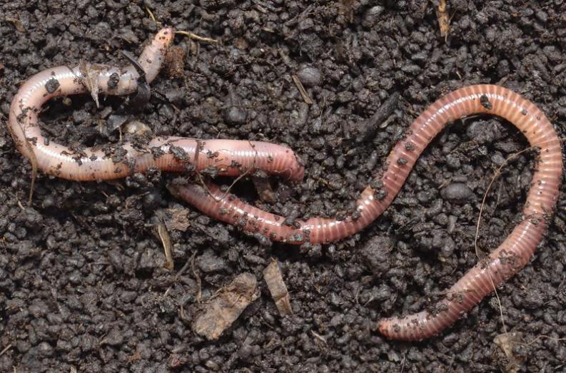 lombrices o gusanos de tierra: carácterísticas, tratamiento y más