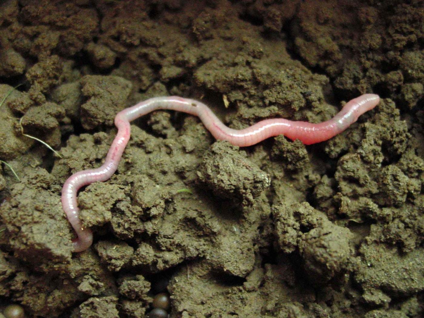 imágenes de gusanos de tierra