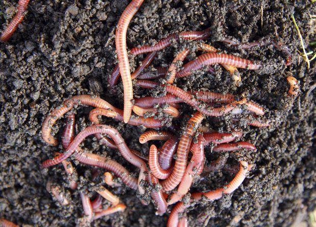 Lombrices-o-gusanos-de-tierra21