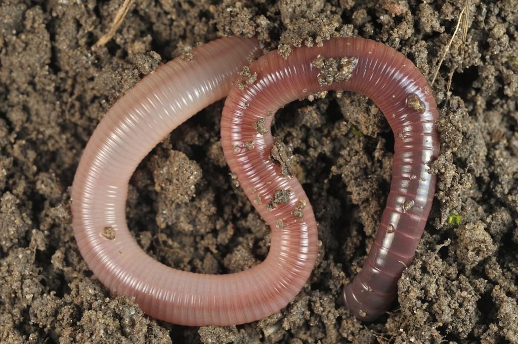 Lombrices-o-gusanos-de-tierra5