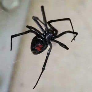 araña-viuda-negra15