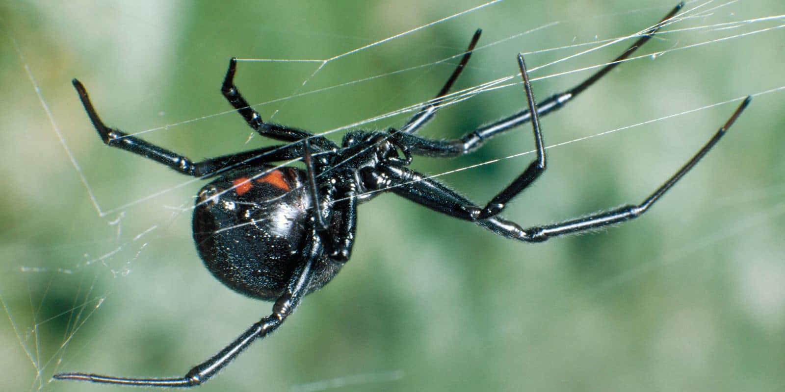 araña-viuda-negra17