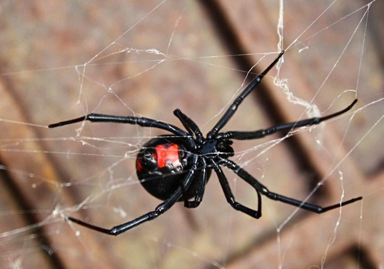 araña-viuda-negra18