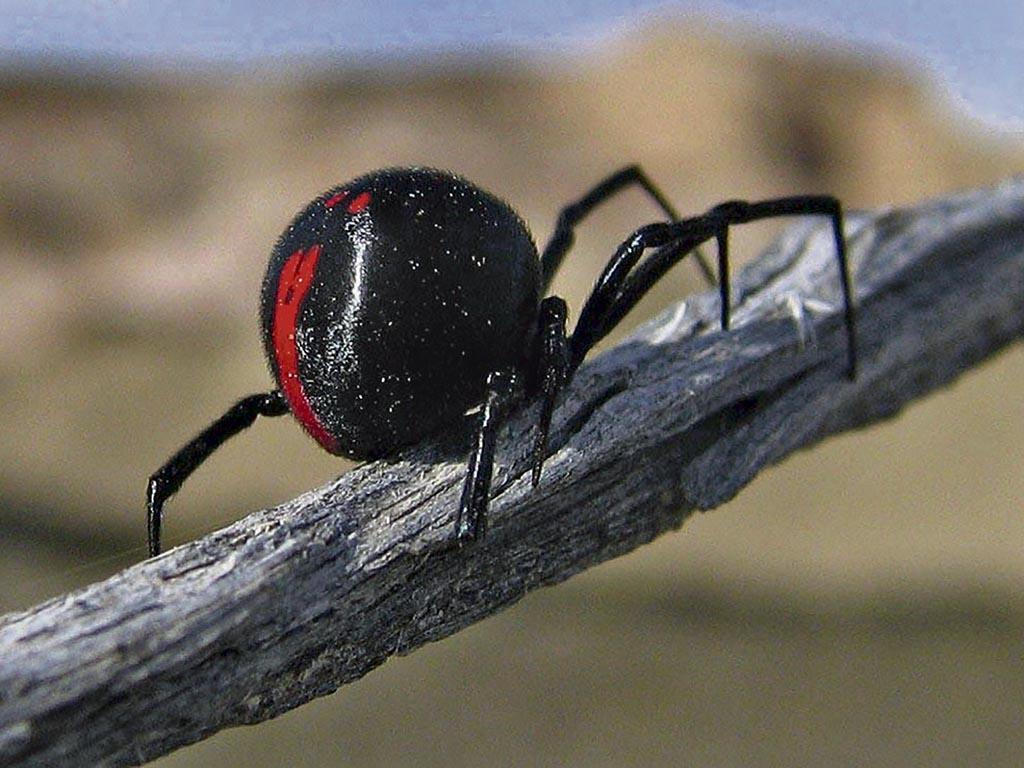 araña-viuda-negra19