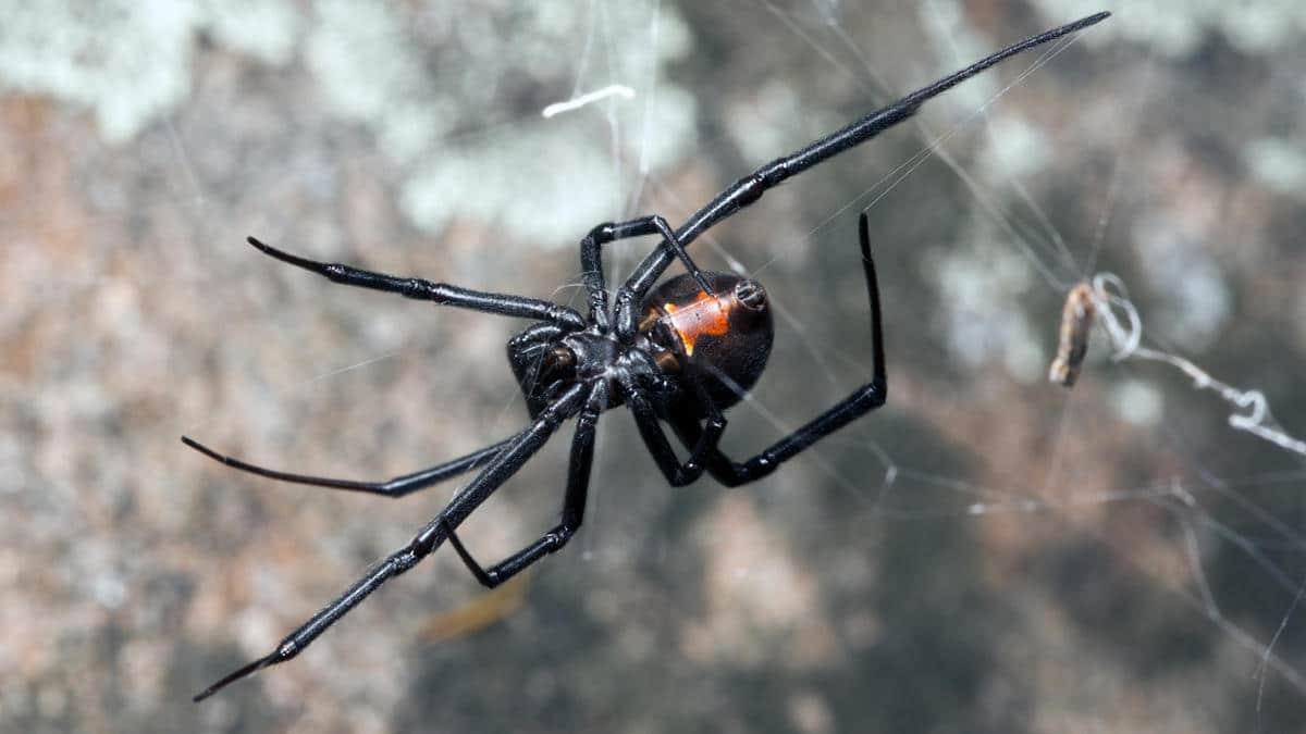 araña-viuda-negra23
