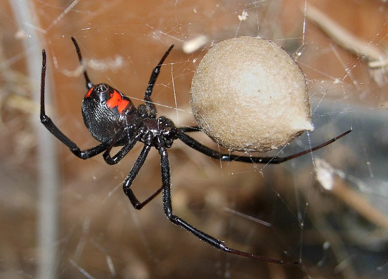 araña-viuda-negra3