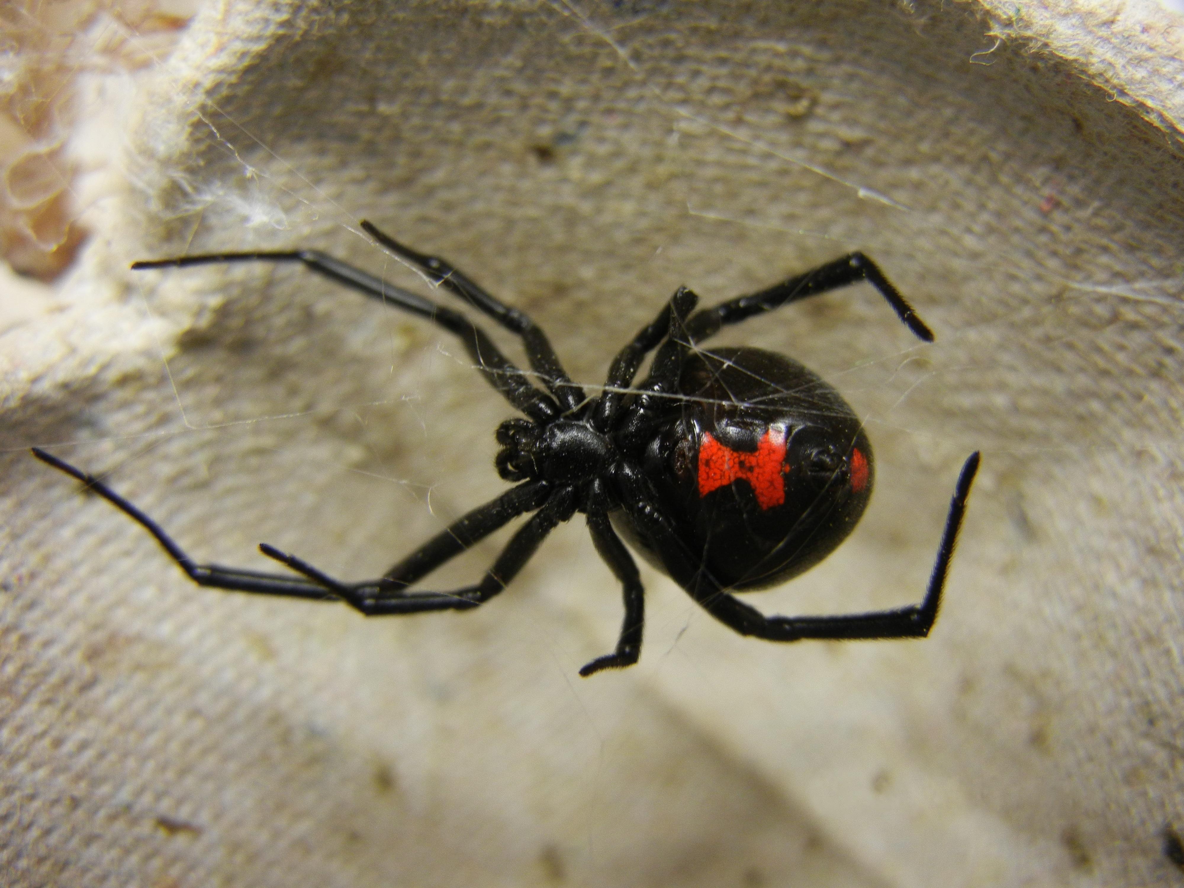araña-viuda-negra5