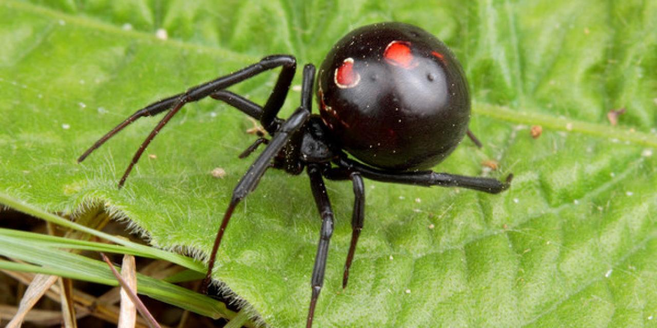 araña-viuda-negra7