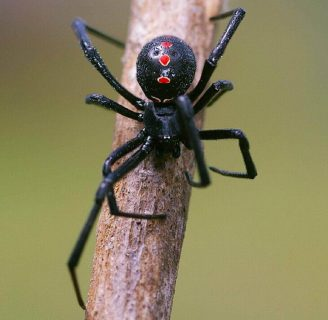 Arañaviuda negra: Carácterísticas, picadura, veneno, sintomas y más