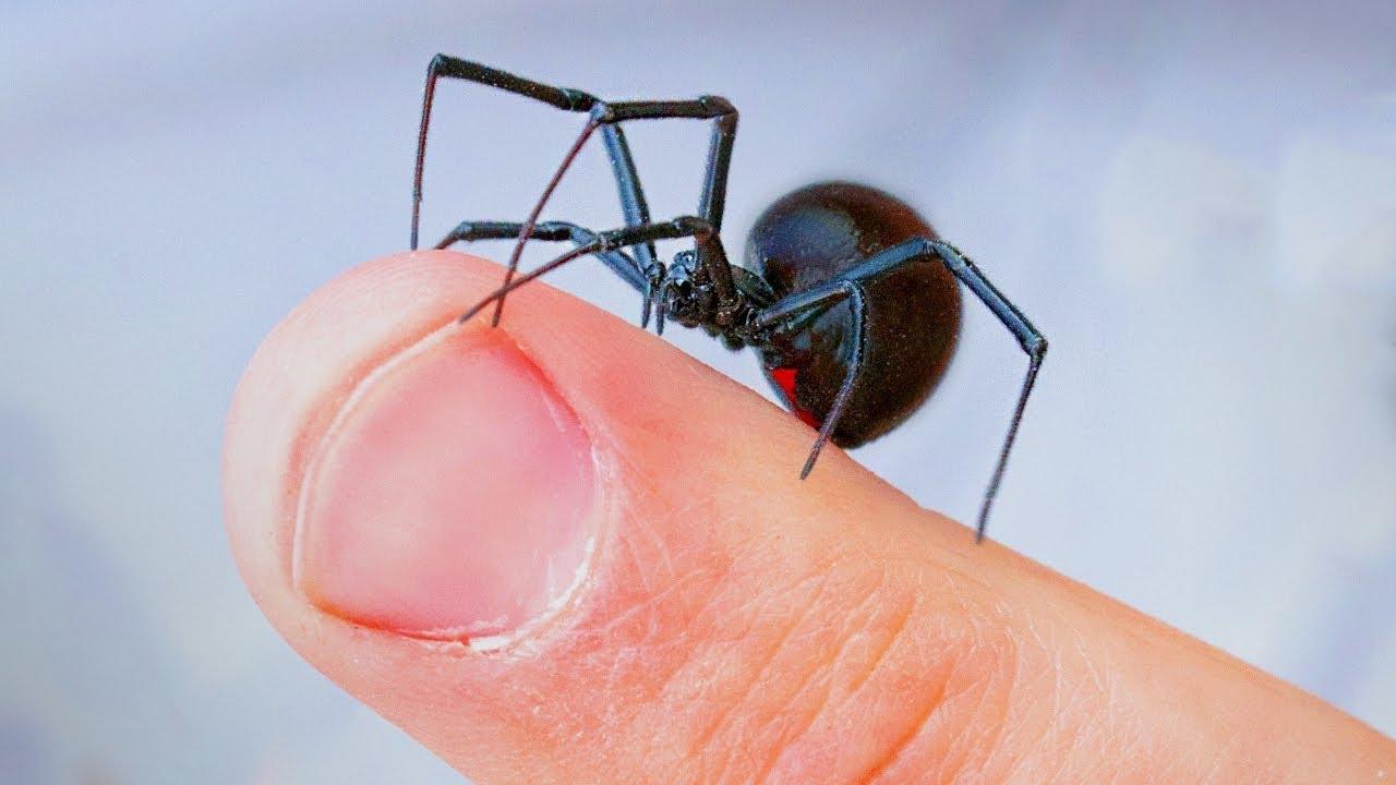 araña-viuda-negra9