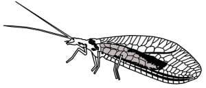 taxonomía de la chrysopa carnea