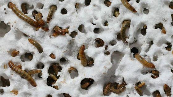 gusano que come plastico
