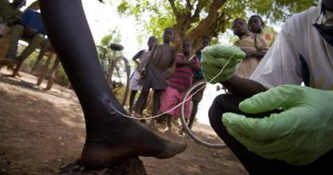gusano de guinea
