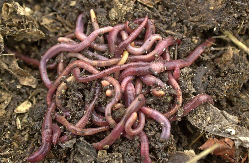 gusano de tierra o lombrices de tierra