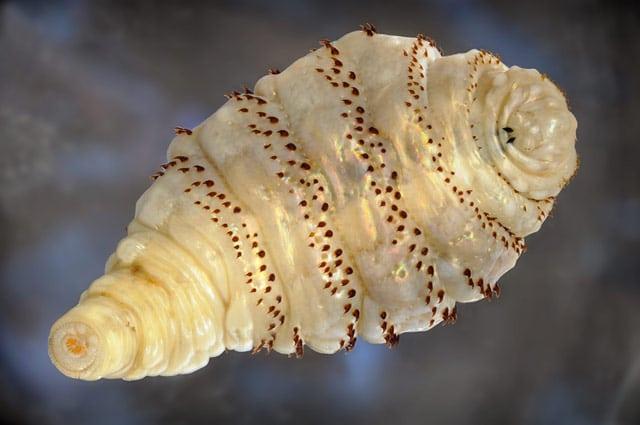 gusano de monte