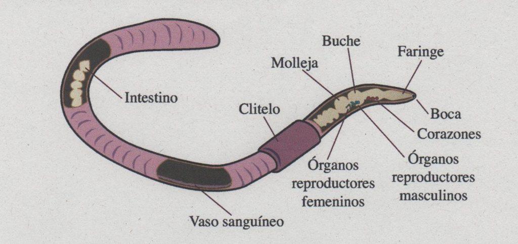 partes del gusano