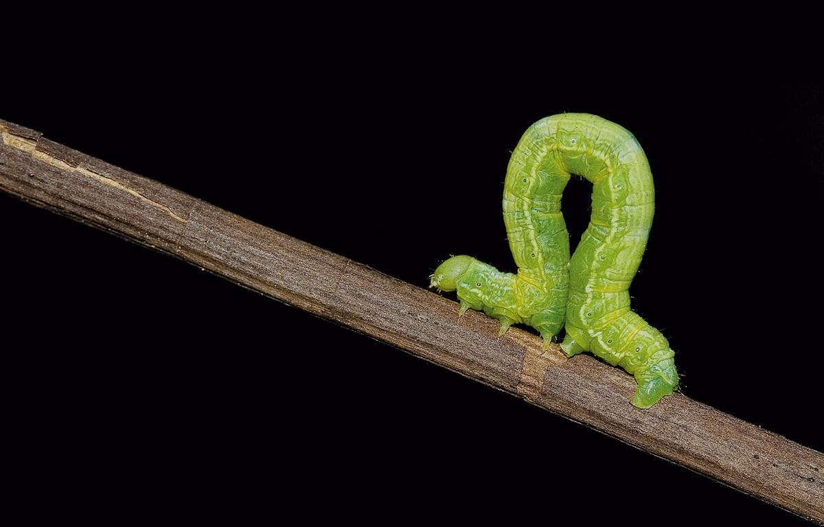 tipo de gusanos venenosos
