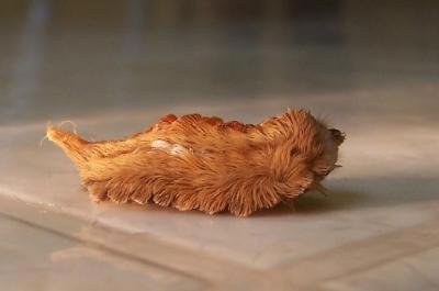 oruga pollo
