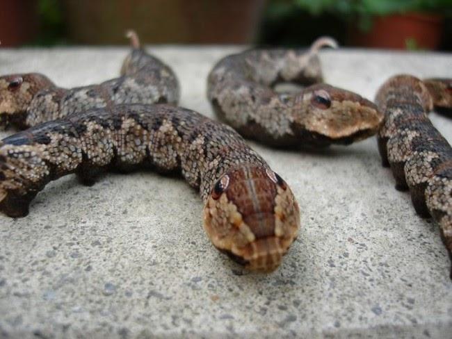 oruga serpiente