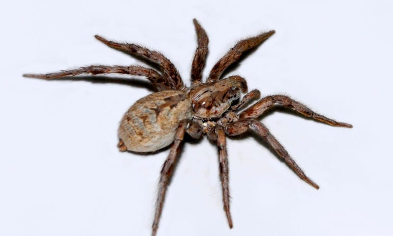 picaduras-de-arañas-11